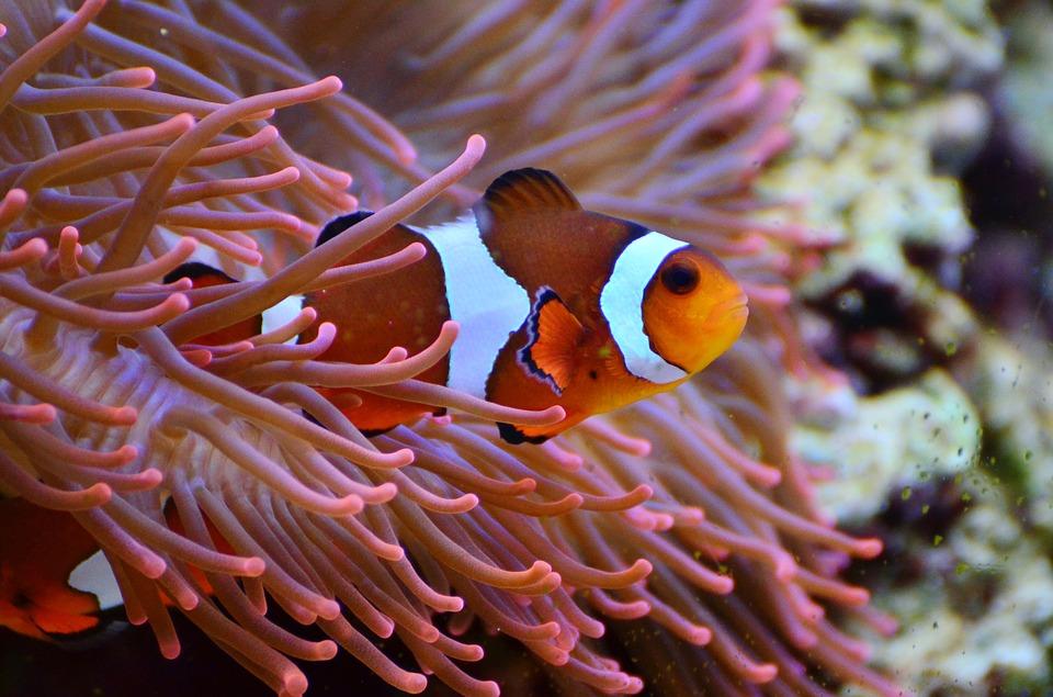 anemone-fish-1496866_960_720
